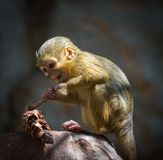 Little gabon. Little funny gabon talapoin on tree Royalty Free Stock Images
