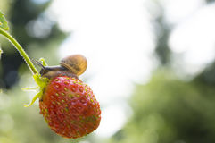 Little garden snail crawling on Strawberry on a. Background garden Stock Image