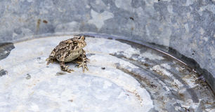 Little Garden Toad Royalty Free Stock Photography