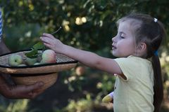 Little gatherer of apples. The girl helps to collect apples in a big hat Royalty Free Stock Photo