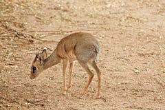 Little gazelle Stock Images