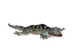 A little gecko slough off your skins for new skins stock photo