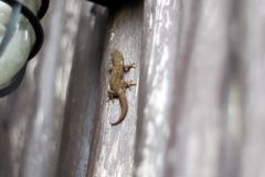The little gecko. The little gecko on wooden background Royalty Free Stock Photo