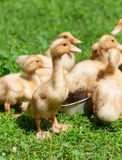 Little geese Stock Photo