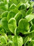 Little gem lettuce royalty free stock photography