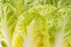 Little gem lettuce leaves Royalty Free Stock Photo