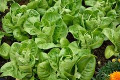 Little Gem Romaine Lettuce. Stock Image