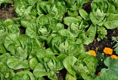 Little Gem Romaine Lettuce. Stock Images