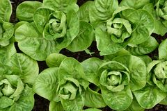 Little Gem Romaine Lettuce. Stock Photo