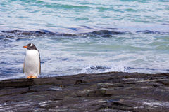 Little Gentoo Penguin by the sea Stock Photos