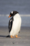 Little Gentoo penguin. Vertical Portrait Royalty Free Stock Images