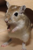 Little gerbil Stock Photo