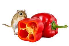 Little gerbil mouse touch fresh red pepper isolated on white background Stock Image