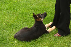 Little german shephard dog puppy. With his owner Royalty Free Stock Image
