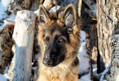 Little German shepherd. In winter-about logs Royalty Free Stock Photos