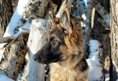 Little German shepherd. In winter-about logs Stock Images