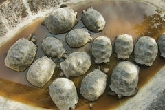 Little Giant tortoises Stock Photography