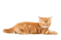 Little Ginger british shorthair cats asleep Royalty Free Stock Photos