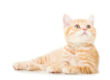 Little Ginger british shorthair cats Royalty Free Stock Photo