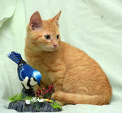 Little ginger kitten and toy bird Royalty Free Stock Photo