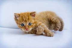 Little ginger kitten on white background 3. Little ginger cute kitten with blue eyes on white background. Studio photography Stock Image