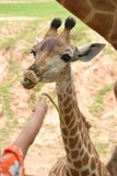 Little Giraffe. Royalty Free Stock Photo