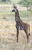 Little Giraffe Stock Photography