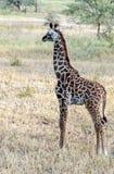 Little Giraffe Stock Photography
