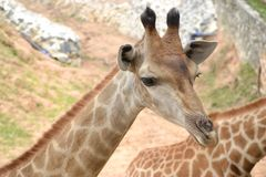 Little Giraffe stand. Royalty Free Stock Photos