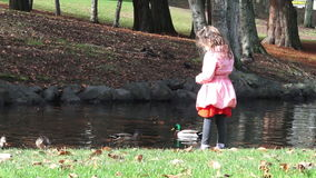 Little girl age 05 feed male and female Mallard wild duck in a pond stock video