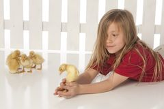 Little girl with baby ducks Stock Photos