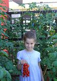 Little girl with the blue dress collecting tomatoes in his garde Royalty Free Stock Photos