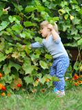 Little girl breaks the grapes. Royalty Free Stock Photography