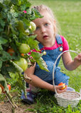 Little girl collecting crop tomatoes in garden royalty free stock images
