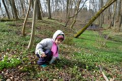 The little girl collects an wood anemone on the bank of a forest stream. Spring.  royalty free stock photo