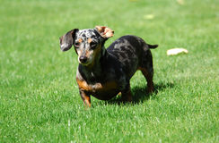 Little Girl Dachshund Royalty Free Stock Photography
