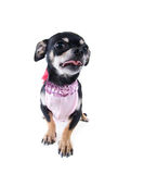 Little girl dog Stock Image