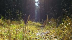 A little girl and dog run along a sunlit path in the autumn forest. A little girl and dog breed Airedale Terrier run along the sun-drenched path in the autumn stock video footage