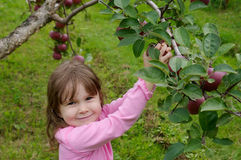 Picking apples Royalty Free Stock Images
