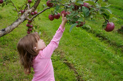 Picking apples Stock Images