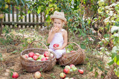 A little girl eating an apple in the garden. Harvesting apples in the garden royalty free stock images