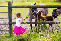 Little girl feeding baby horse on ranch. Little girl playing with mother and baby horses on sunny summer day in the country. Child feeding horse and foal pet stock photo