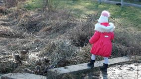 Little girl is feeding bread of wild ducks stock video footage