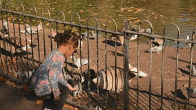 Little girl feeding geese and pigeons stock video