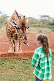 Cute little girl feeding giraffes in Africa. Little girl feeding giraffes in Africa Stock Photos