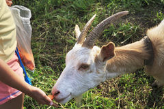 Little girl feeding a goat. Altai Royalty Free Stock Image