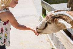 Little girl feeding a goat at a petting zoo Stock Image