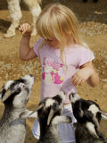 Little Girl Feeding Goats. Three hungry goats wanting food from a little girl at the petting zoo royalty free stock image