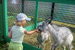 Little girl feeding goats. In the zoo Royalty Free Stock Photo