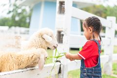 A little girl is feeding the grass to the sheep stock photography